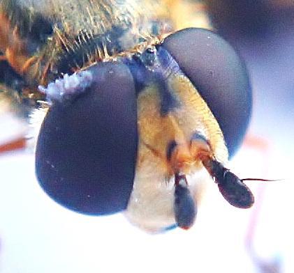 Eupeodes luniger face view