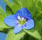 Veronica arvensis close up