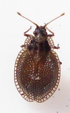 Tingidae - Acalypta parvula