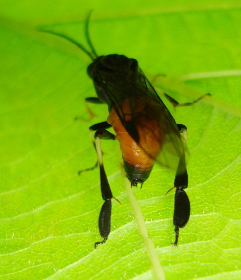 Croesus septentrionalis - Hazel Sawfly ♂