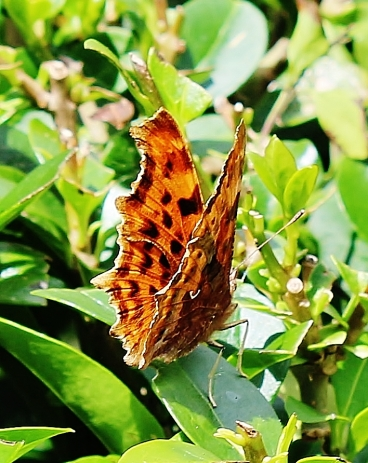Polygonia c-album female