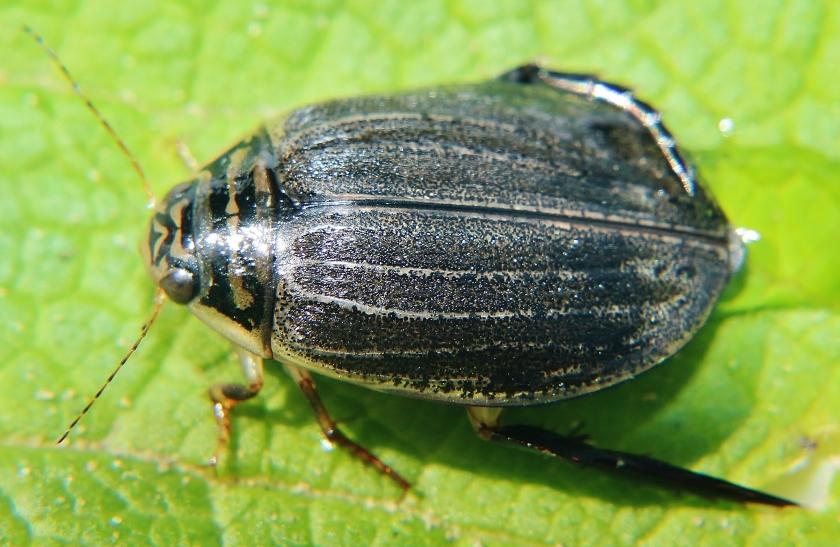 Acilius sulcatus ♀