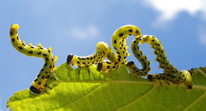 Larvae Croesus septentrionalis - Hazel Sawfly, Birch Sawfly