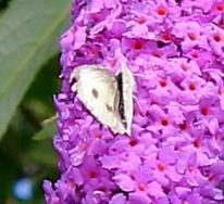 Large White Pieris brassicae (Linnaeus, 1758)