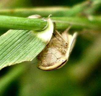 Athysanus argentarius - Face View