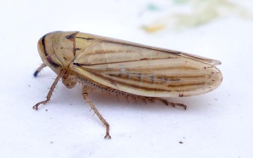 Athysanus argentarius - Dorsal View