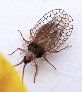 Derephysia foliacea (Fallén, 1807)