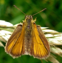Essex Skipper - Thymelicus lineola 2