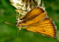 Essex Skipper - Thymelicus lineola
