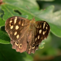 Speckled Wood Pararge aegeria (Linnaeus, 1758)