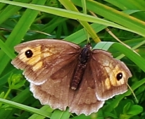 Meadow Brown Maniola jurtina (Linnaeus, 1758)