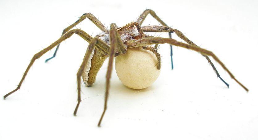 Pisaura mirabilis - Nursery Web Spder