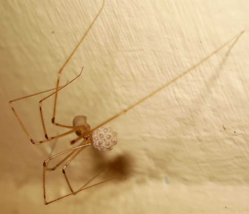 Pholcus phalangioides 3