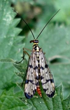 Panorpa communis ♀