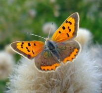 Small Copper Lycaena phlaeas (Linnaeus, 1761)