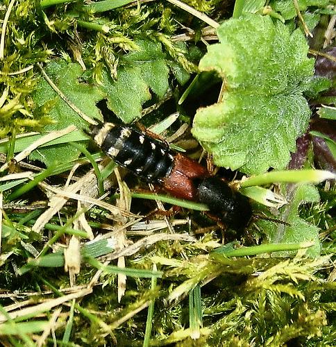 indet Platydracus stercorarius