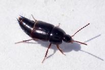 indet Tachinus signatus