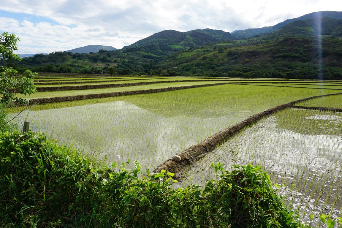 Cee's Fun Foto Challenge: Pale Green 2 Rice Fields in Northern Peru