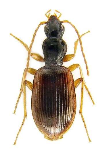 oxypselaphus-obscurus-1