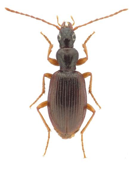 oxypselaphus-obscurus-2