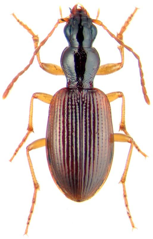 Oxypselaphus obscurus