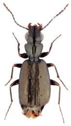 syntomus-foveatus-2