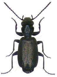 syntomus-foveatus