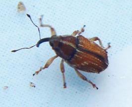 trichosirocalus-troglodytes